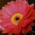 Pink Gerbera. by Livvy Young