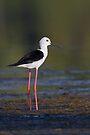 Black-winged Stilt by Neil Bygrave (NATURELENS)