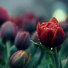 rain and tulips by CHRISTINA .  HARRISON