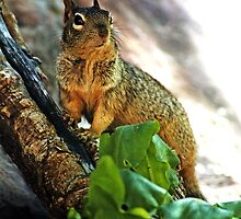 Haughty  (Bryant's fox squirrel) by paolo1955