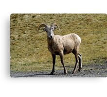 Young Ram  Canvas Print