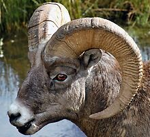 Big Ram by paolo1955