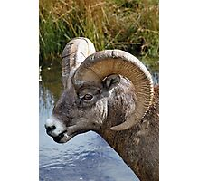 Big Ram Photographic Print