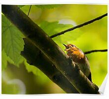 Singing Robin  Poster