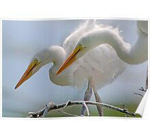 Egret Chicks in Profile Poster