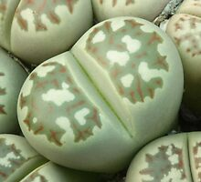 Lithops dorotheae by Etwin
