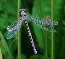 Dragonfly Smiles by Terra 'Sunshine' Gilbert