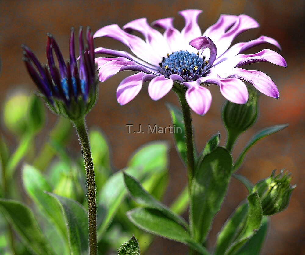 Lilac Spoon - Soprano (Osteospurmum) by T.J. Martin