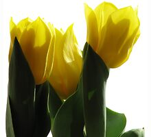 yellow tulips by JuliaPaa