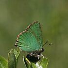 Green Hairstreak by Neil Ludford