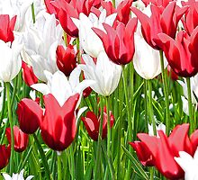 Red and White Tulips by T.J. Martin