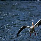 747 Of Birds - American White Pelican Landing by KatsEye