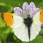 Orange tip Butterfly by Paul Revans