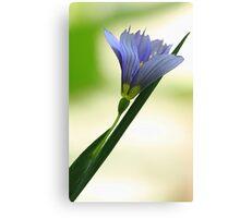 Blue-Eyed Grass - Single Blossom-- Canvas Print