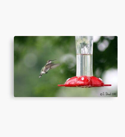 Precious Little Flying Jewel. Canvas Print