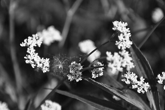 Flowers and fluff in black and white by mltrue