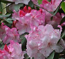 Pink Rhodie by Tamara Lindsey