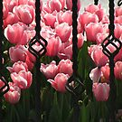A prison for tulips!!! by rasim1