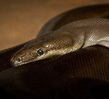 Olive Python by Craig Hender