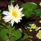 Water Lily by Patricia Motley