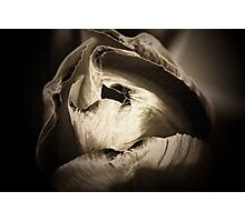 Tip of a Tulip Photographic Print