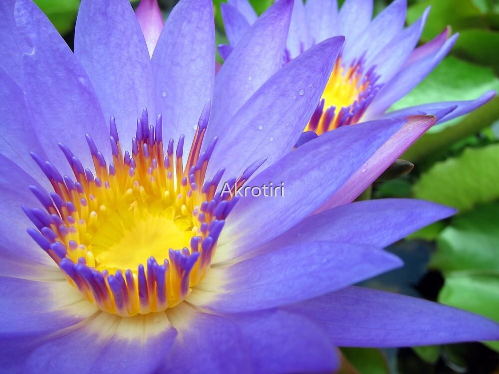 Purple & Yellow Lotus by Akrotiri