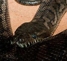 Carpet Python by Craig Hender