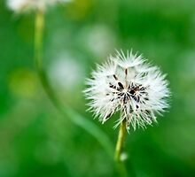 another dandelion by cesanciano
