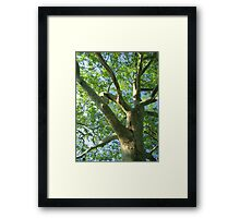 twisting arms to the sky  Framed Print