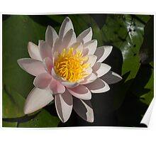 Crisp, Gently Pink Waterlily in the Hot Mediterranean Sun Poster