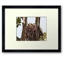 Baby Red Tailed Hawk Framed Print