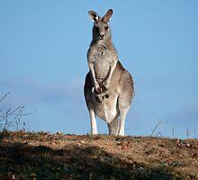 Kangaroo and joey by Anna Calvert