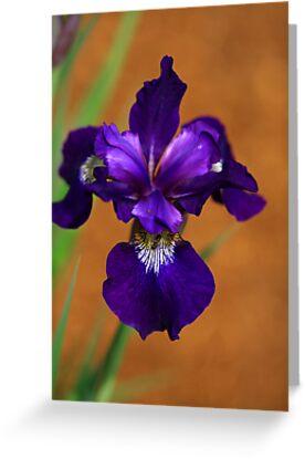 Deep Purple Iris by Deborah  Benoit
