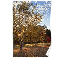 Birch Trees in Autumn Poster