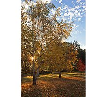 Birch Trees in Autumn Photographic Print