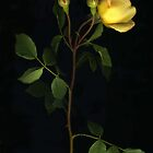 Yellow Rose by Barbara Wyeth