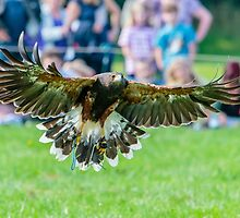 Harris Hawk at Country Show by Dave  Knowles
