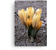 yellow crocuses Canvas Print