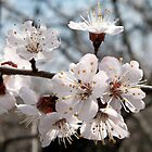 apricot blossoming branch by Silversky2212