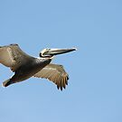 Pelican Daytona Beach Florida by eoconnor
