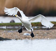 Bewick's swan about to land on water with wings outspread by Dave  Knowles