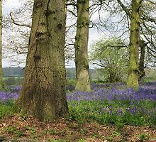 Bluebells Woods by BizziLizzy