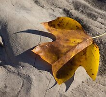 Tulip Tree Leaf - Shadow and Light by Georgia Mizuleva