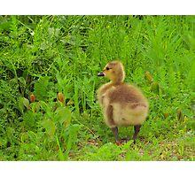 Curious Gosling Photographic Print