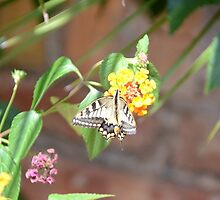 Swallowtail Butterfly by Malcolm Snook