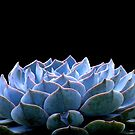 Echeveria Morning Beauty by Gabrielle  Lees