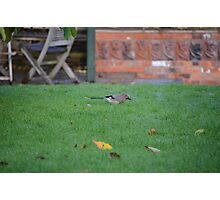 Jay On The Lawn Photographic Print
