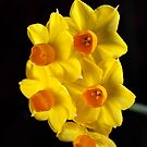 Wonderful Jonquils by Joy Watson