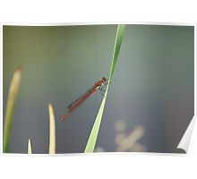 Red Damsel Fly #5 Poster