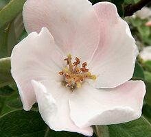 Flowering quince by Silversky2212